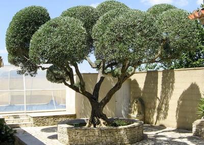 Des oliviers magnifiquement bien taillés